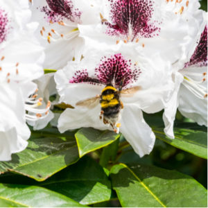 The Northern Catalpa tree is one of the best flowering trees in Michigan and have some of the most beautiful flowers.