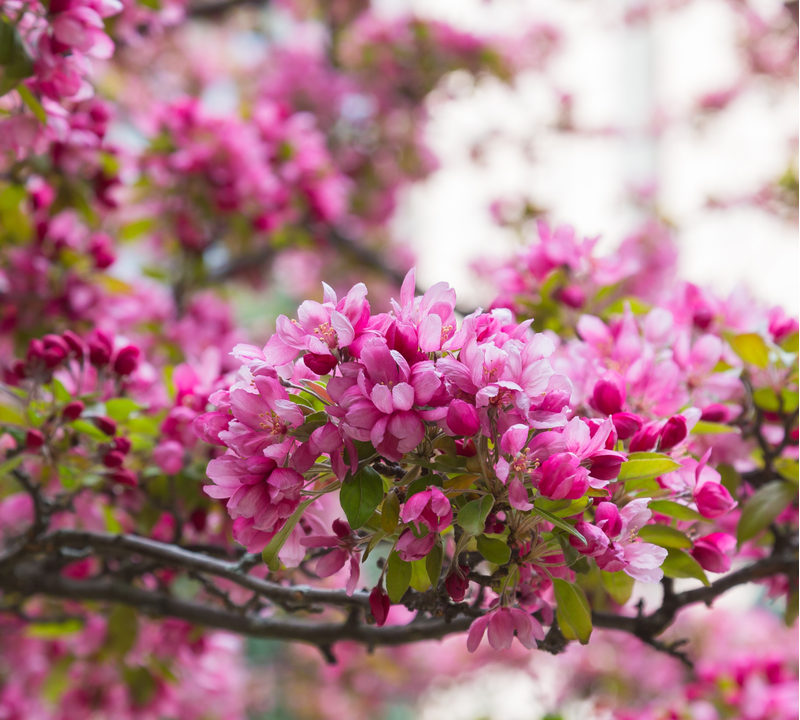 When looking for the best flowering trees in Michigan, you can't go wrong with crabapple trees.