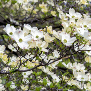 One of the best flowering trees to plant in your Michigan lawn is the dogwood tree.