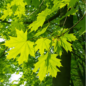 Adding shade trees, like this maple tree, to your lawn is easy with tree planting services from Images Landscaping.