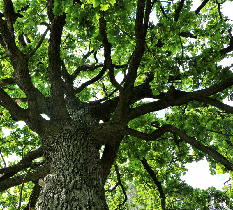 Add shade trees, like this oak tree, to your Michigan lawn with Tree planting services from Images Landscaping.